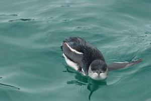 little blue penguin, bay of islands