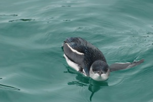 little blue penguin, bay of islands